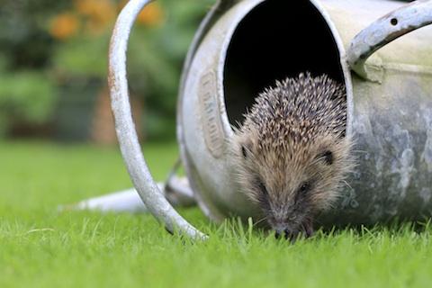 Hedgehog_c_Tom_Marshall-14 copy